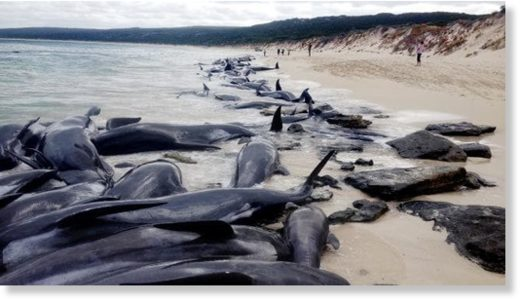 More than 150 short-finned pilot whales stranded en masse at Hamelin Bay, 10km north of Augusta, WA, early this morning.