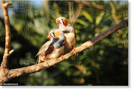 Researchers found zebra finches (stock image) had three cryptochromes - Cry1, Cry2 and Cry4 - in the brains, muscles and eyes