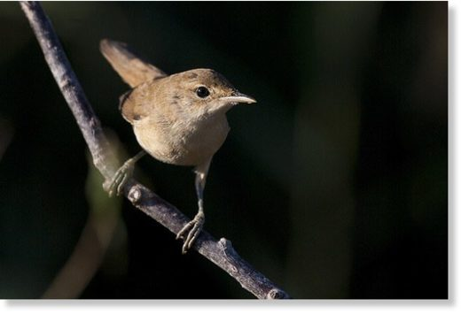Last year, researchers did a similar study with Eurasian Reed Warblers. They found reed warblers, which spend summers in the UK, use a neat trick to navigate – by somehow measuring the variation between true north, and magnetic north