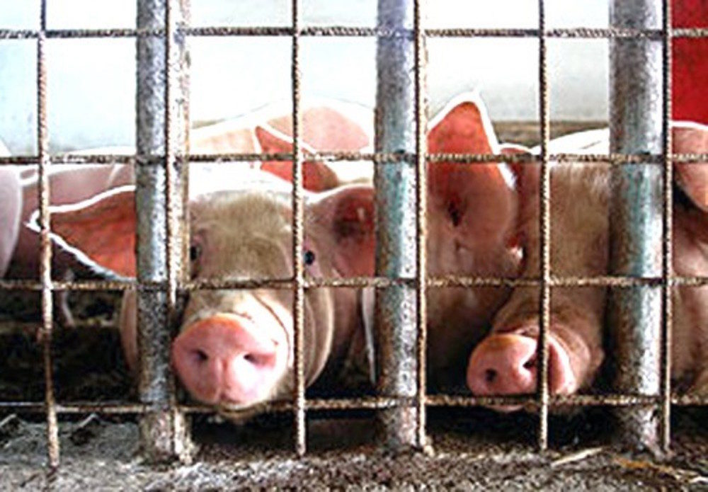 Factory Farms Breeding Grounds For Antibiotic Resistant