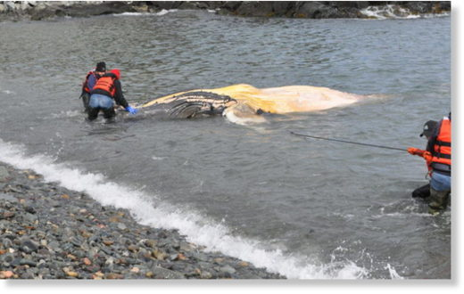 A dead humpback whale was found floating in a Lubec cove, and scientists are eager to find the cause of its demise.