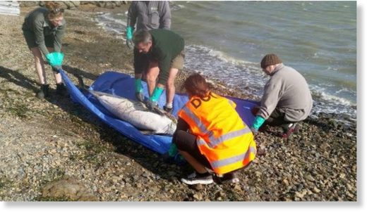 Department of Conservation workers collected the body of a dolphin found in Pauatahanui inlet just outside Wellington.