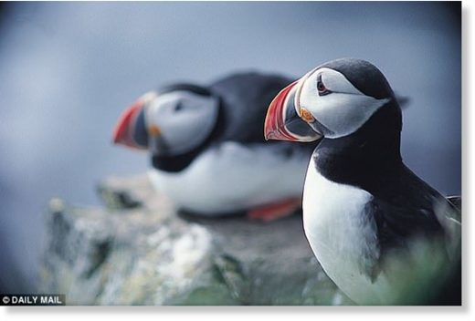 Puffins could be consigned to the history books as a report has found that it is one of the 40 per cent of bird species that are in decline.