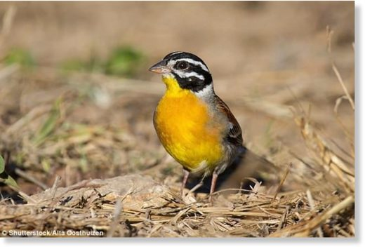 It is thought that up to 38 million birds are illegally killed every year in the Mediterranean region. A perfect of example of how this can damage a bird population is the yellow-breasted bunting (pictured)