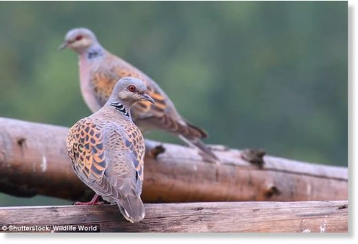 The sudden struggle of the European turtle dove (pictured)