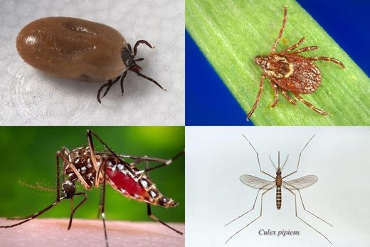 infections ticks mosquitoes