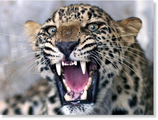 The hunt is on with the intention of capturing the leopard and removing it from the wild,' said a spokesman