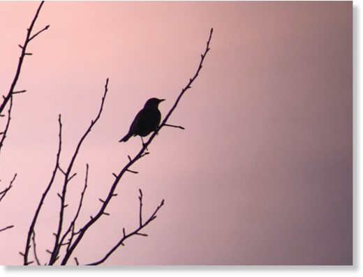 A silhouetted Fieldfare
