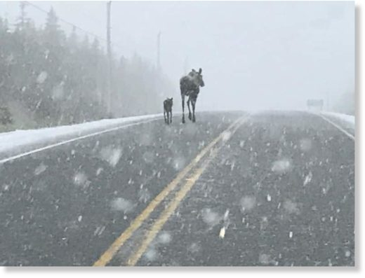 An adult and baby moose take a morning stroll in the Cape Breton Highlands this morning.