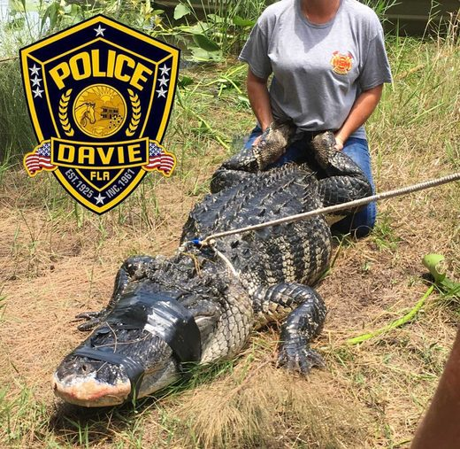 captured alligator
