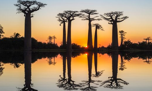One baobab tree has been estimated to be 2,500 years old.
