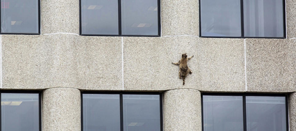Daring Raccoon Captivates The Internet By Scaling St Paul