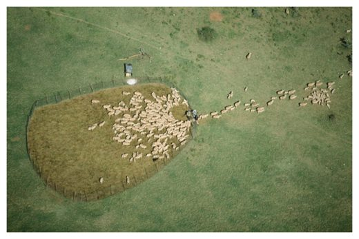 Sheep moving into pen