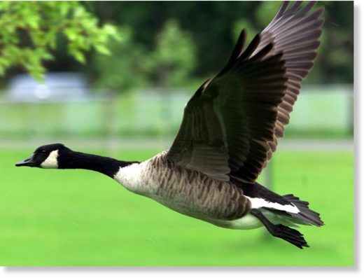 A Canada Goose takes off in this undated file photo.