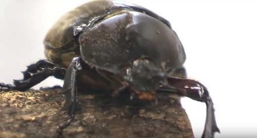 A rare hermaphrodite beetle born in Japan