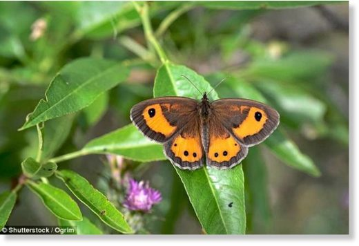 Environmental charities claim that butterflies, like the iconic Gatekeeper butterfly (pictured)
