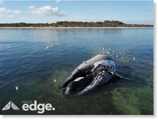 A Humpback Whale has washed up at Boatswain Point and has died on a reef about a 200m from the shore.