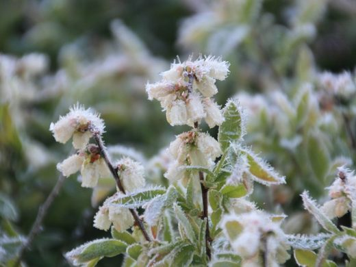 frost damage crops