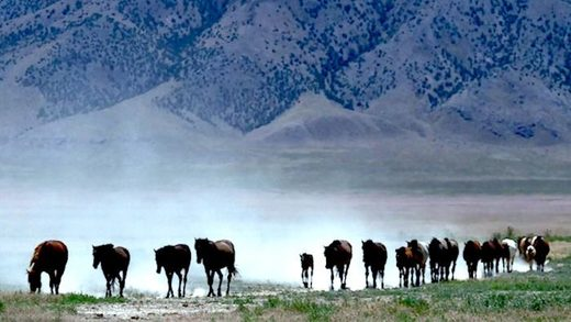 line of wild horses drought