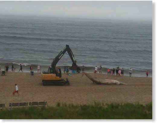 A dead whale is towed off Old Orchard Beach after drawing a crowd.