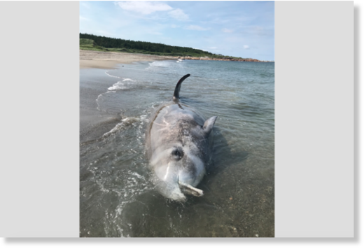 This rare to Newfoundland waters Cuvier's beaked whale was discovered in Lumsden on July 24.