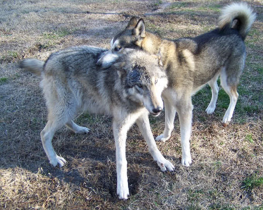 Wolfdogs are too 'wolfie' to be kept as pets