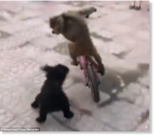 The dog yapped and barked but could not force the monkey to get off the bike