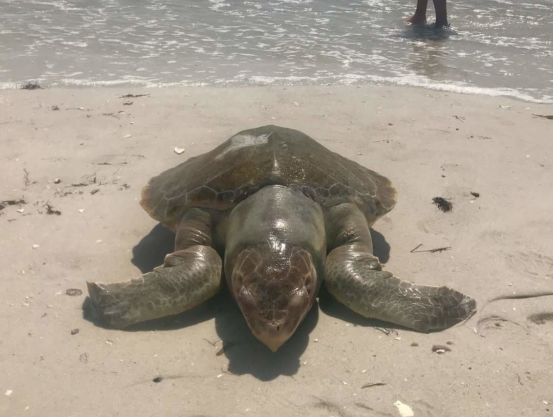 Red Tide Turtle Florida