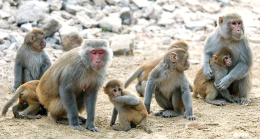 anxious monkeys, anxiety passed down families