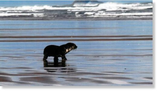 Young fur seals, like this one on Ninety Mile Beach last August, often come ashore in winter.