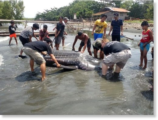 A dead whale shark was spotted at the shoreline in Barangay Cabugan, Tagum City, Davao del Norte Tuesday dawn, August 7, 2018.