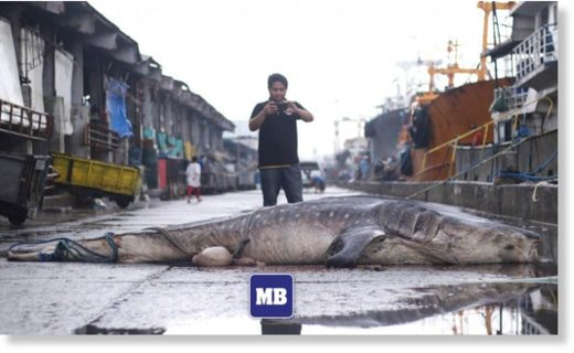 A man takes photo of the carcass of a Whale Shark or locally known as Butanding at Navotas fish port on Friday.