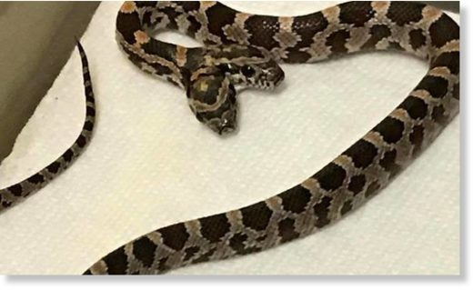 Gemini, the two-headed snake, is already four weeks old and will, hopefully, be on display at The Pet Zone in Pittston should it live past six months.