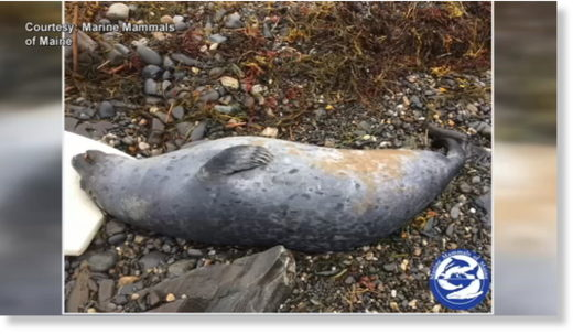 Scientists say it could take at least a week to get answers about what's causing dead seals to wash up on Southern Maine beaches.