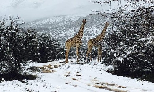 Giraffes in the snow in the Karoo region of South Africa