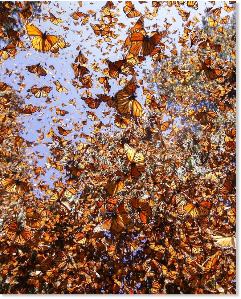 There were 1 billion Monarch butterflies - Now there are 93