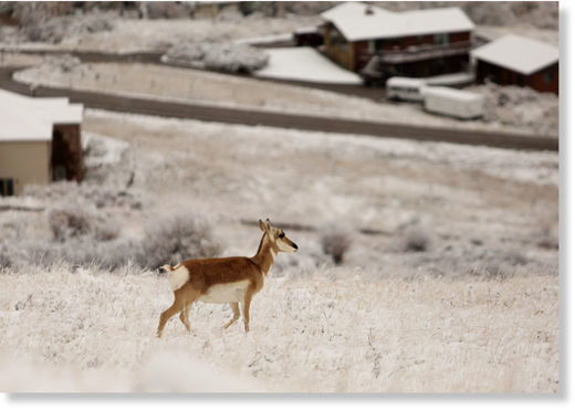 An antelope makes its way through the snow