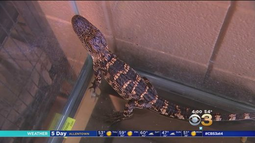 Alligator found in PA home