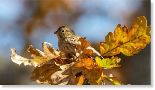 The rare pine bunting has never been sighted south of Alaska in North America.