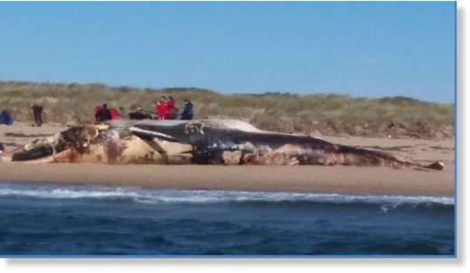 This giant Finback Whale washed up on the outside of Long Point Road in P-Town.