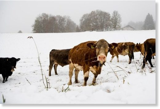 Cows look for grass in the snow in the Vallee de Joux in the Jura on Sunday morning
