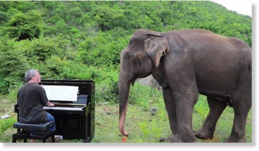pianist plays to elephant