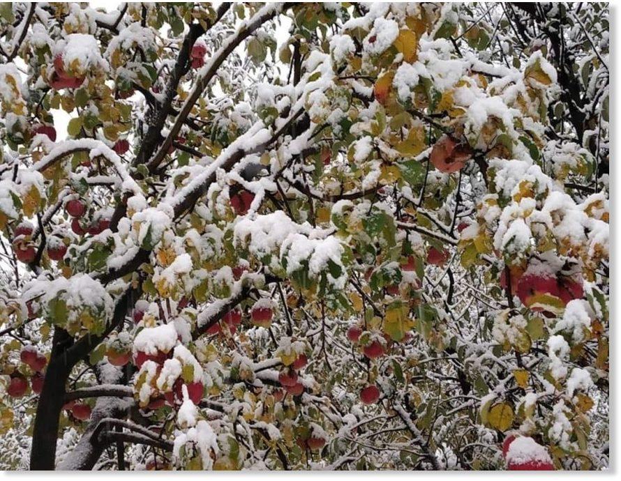 Image result for kashmir snow fall apple