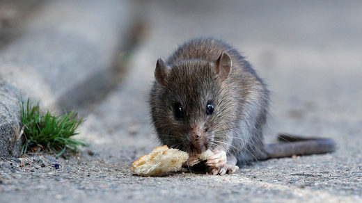 rat eating bread