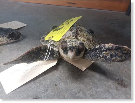 A sea turtle is found dead along frozen waters in Cape Cod Bay in Massachusetts around 6 a.m. Friday.