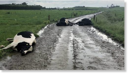 Four of Clem and Karen Newby's cows were walking back to the paddock after morning milking when they were struck by lightning.