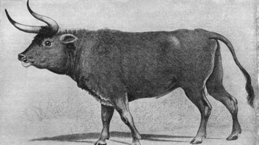 Prehistoric cattle.