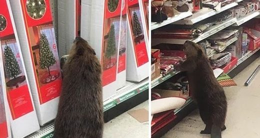Wild beaver spotted in supermarket looking for the perfect Christmas tree
