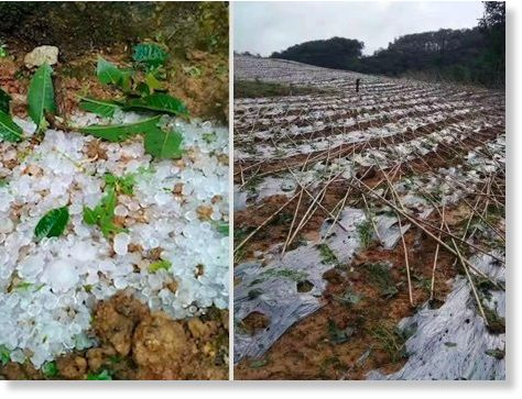 Crops damaged by hailstones