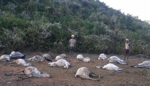 mysterious cattle deaths Ganjam district india